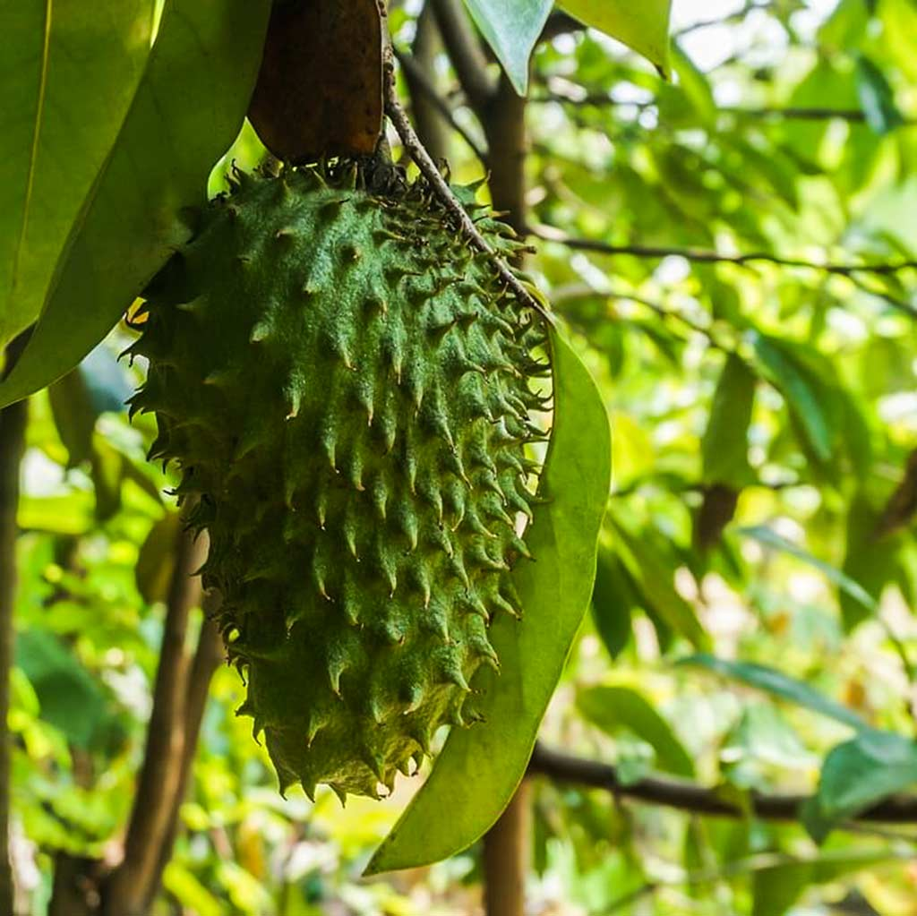Durian belanda or soursop fruit