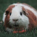 Pet hamster