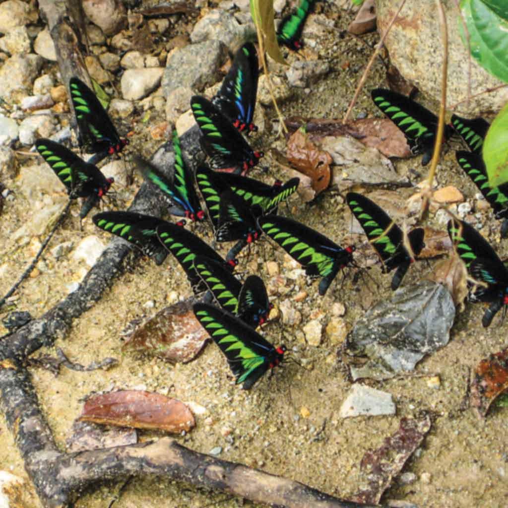 Rajah Brooke Birdwing is a must see animals of Sarawak